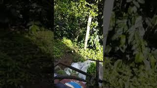 Video Sepasang BURUNG KRIKO (Poksay lokal)  jitot download MP3, 3GP, MP4, WEBM, AVI, FLV Juli 2018