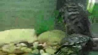 La cópula de mis trachemys scripta elegans, conchi y pamela
