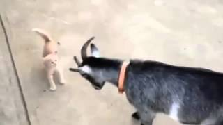 Смешное видео   Козленок и котенок