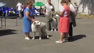 КАВКАЗСКАЯ ОВЧАРКА, судья проверяет собаку