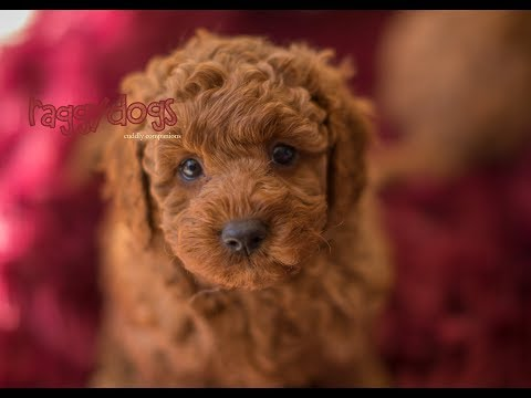 Cavoodle Puppies Barking & Playing 6 Weeks old - Funny & Cute