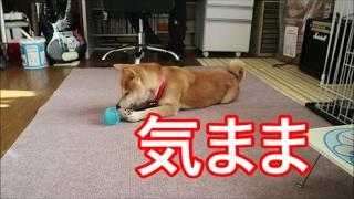 柴犬小春 内飼い柴の日常、広がった滑らんスペース&届いたドッグフード紹介 thumbnail