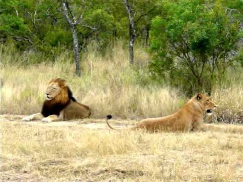 Lioness impresses male lion youtube for The lion in the living room netflix
