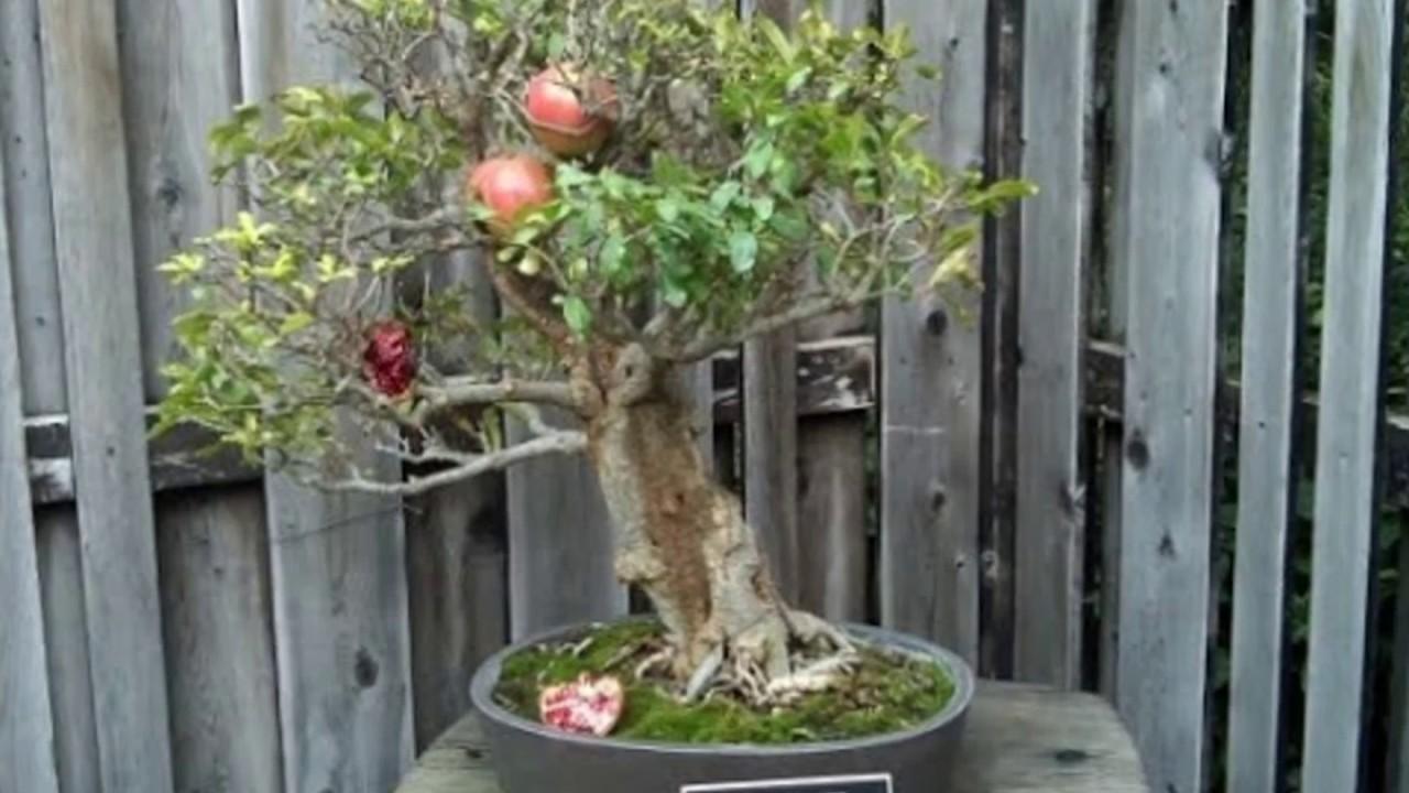 punica granatum 39 nana 39 bonsai tree youtube. Black Bedroom Furniture Sets. Home Design Ideas