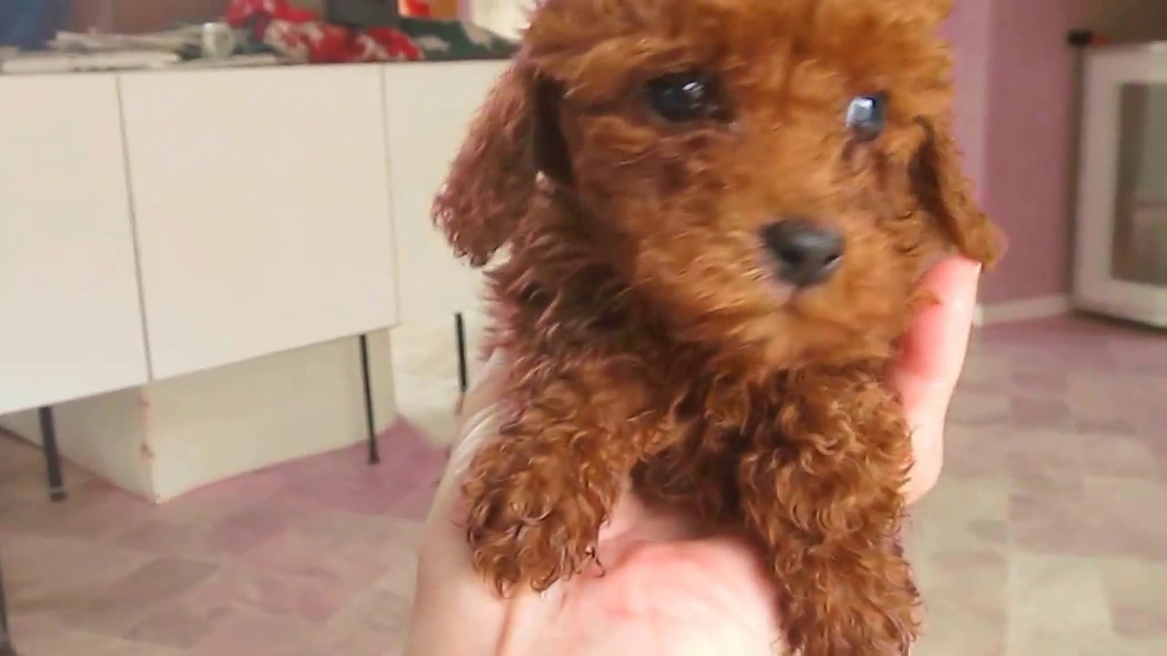 Red Toy And Miniature Poodle Puppies