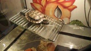 Красноухая черепаха спит под лампой