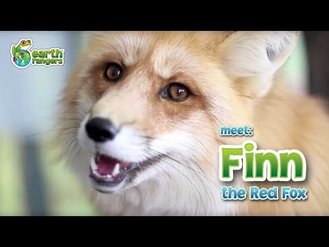 Meet Animal Ambassador Finn the Red Fox