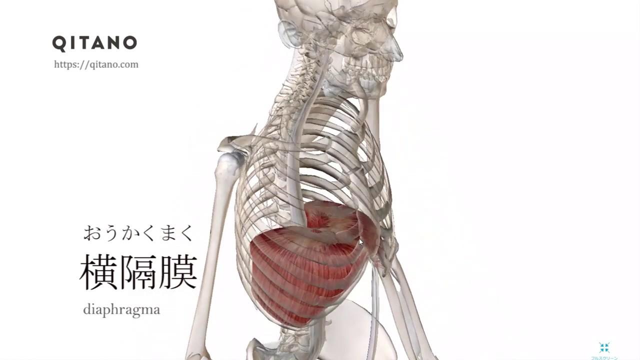 ストレッチ 横隔膜 呼吸を極めるためには「横隔膜」を柔らかくしろ!!