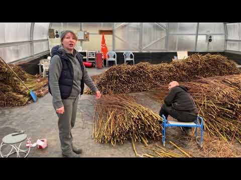Русская ива. Как мы работаем в теплице