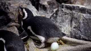 すみだ水族館のマゼランペンギンです。 カクテルちゃんの産卵シーンです...