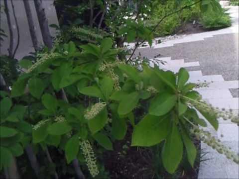 植木一筋42年 庭師 武笠 均 リョウブの樹 若葉を食料にする 日本人のご先祖様が 飢餓きが飢饉ききんに備え 子孫のために残してくれた樹木 広く使用されるべき樹木 庭師の基礎編