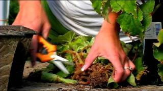 Planting & Growing Flower Bulbs : How to Dig & Store Tuberous Begonias