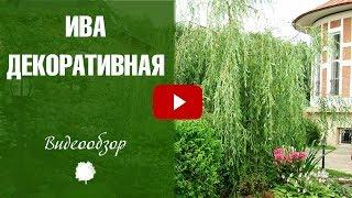 видео Плакучие хвойные: сорта, применение в ландшафтном дизайне