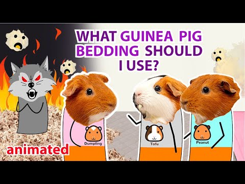 What Guinea Pig Bedding Should I Use? (Animated)   Guineadad