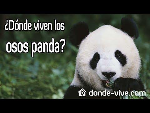 D nde viven los osos panda qu comen y cu nto viven - Donde viven los acaros ...