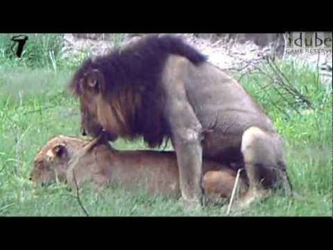 WILDlife: Mating Lions