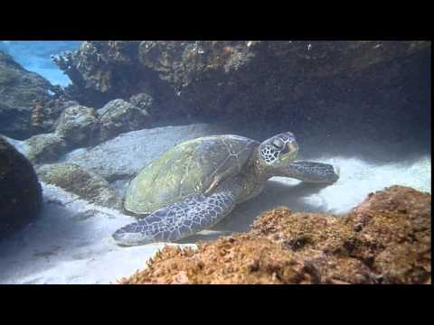 Come Snorkel With Turtles In Maui!