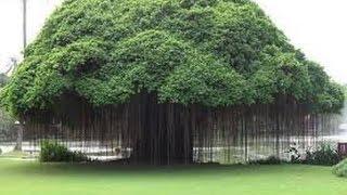 चमत्कारिक पारिजात वृक्ष जिसे छूने मात्र से मिट जाती है थकान//स्वर्ग से पृथ्वी पर कैसे आया