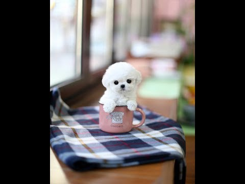 Tiny Puppy ~ Toy Poodle White Poodle Teacup Puppy
