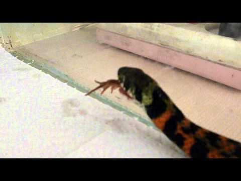 Tiger Keelback Snake Eats Frog Тигровый уж ест лягушку