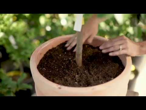Growing Citrus In Containers With Kathleen