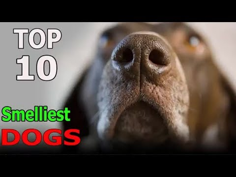 Top 10 Smelliest Dog Breeds to Own | Top 10 animals