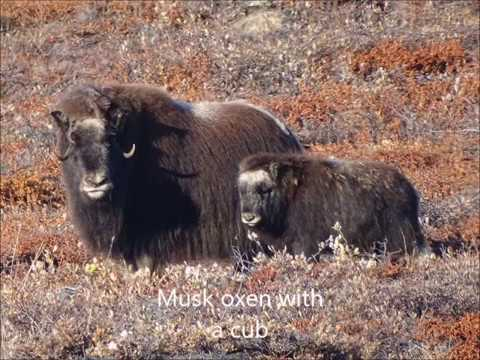 Musk oxens and other animals in Greenland