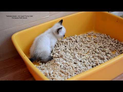 Тайский котёнок кошечка освоила на отлично лоток в возрасте 1 месяц! Тайские кошки - это чудо!