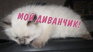 Смешные котики породы Невская маскарадная  играют ( Siberian kittens )