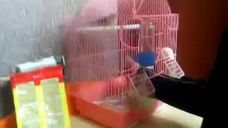 Как приручить птицу амадина 1 часть