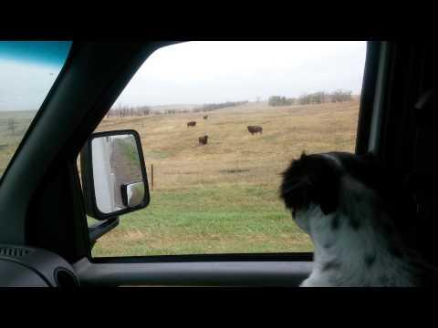 Good morning South Dakota Buffalo