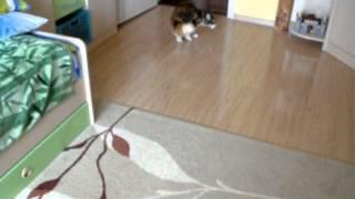 Дрессированная кошка мейн-кун