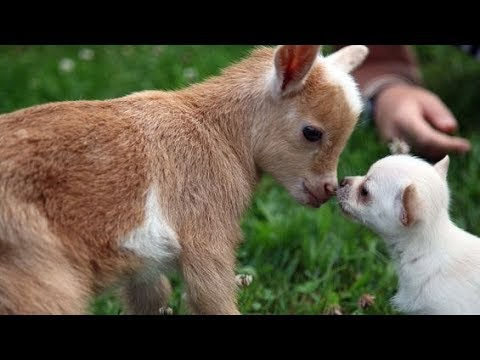 Image of: Natural Instincts Unlikely Animals Love Each Other Funny Video Pray Species Unlikely Animals Love Each Other Funny Video Youtube