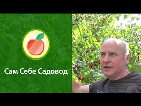 Кизил – польза и полезные свойства кизила