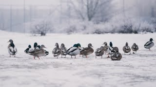Winter Ducks | RELAX YOUR PET | January 8, 2021 | 10 Hours