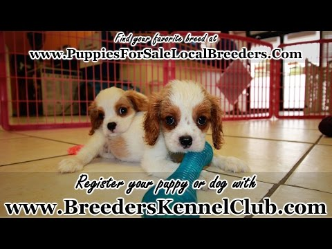 Cavalier King Charles Spaniel PUPPIES FOR SALE GEORGIA LOCAL BREEDERS