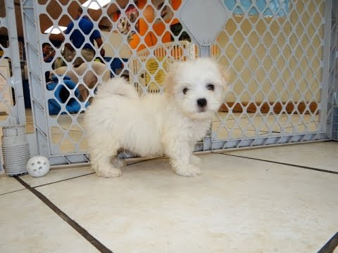 Hava Chon, Puppies, For, Sale, In, Southaven, Mississippi, County, MS, Meridian, Biloxi, Hattiesburg