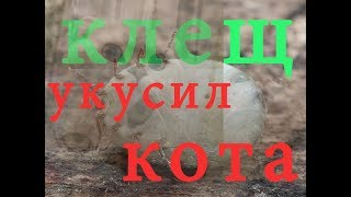 Наглый клещ укусил кота. / Brazen tick has bitten the cat.