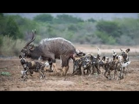 National Geographic Documentary African Wild Dog Wildlife Animal