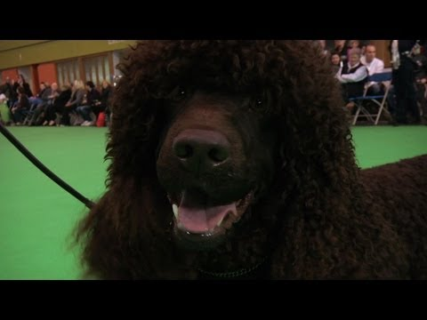 Crufts Irish Water Spaniel Best of Breed 2012 - Sh Ch/Am Ch Whistle Stop's Elements Of Magic