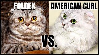 Foldex Cat VS. American Curl Cat