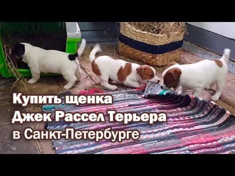 Купить щенка Джек Рассел Терьера в Санкт-Петербурге