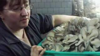 Как выращиваются грибы вешенки