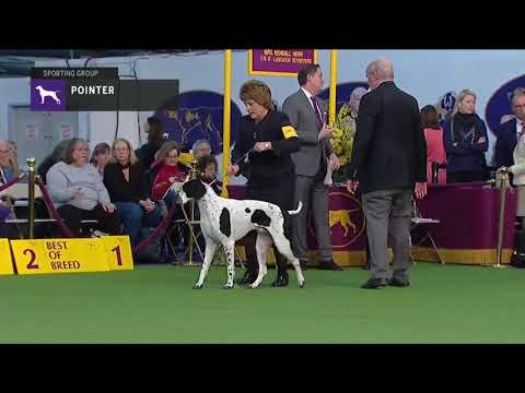 Pointers | Breed Judging (2019)