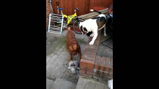 Dogue De Bordeaux And American Bulldog Playing 2