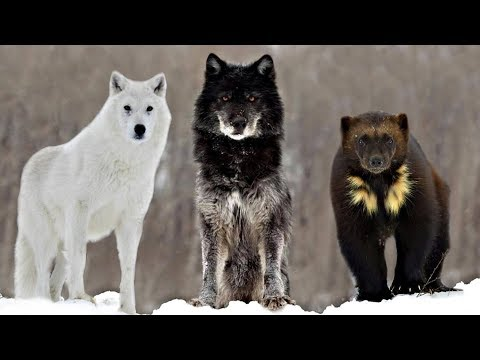 These Are 10 Alaskan Wilderness Animals