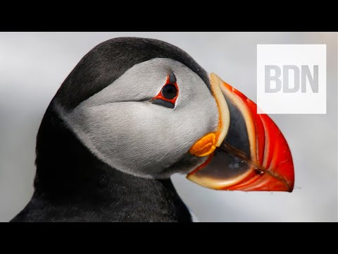 Why Atlantic Puffins Are 'the Sexiest Bird In Maine' | Bob's Bird's Eye View