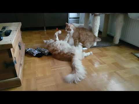 Maine Coon vs regular cat wrestling