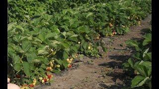 Всё о выращивании клубники. All about growing strawberries.