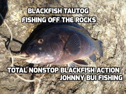 Blackfish/ Tautog Fishing On The Rocks, NJ